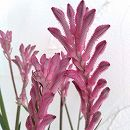 カンガルーポー:ブッシュジェム 薄ピンク 5号鉢植え