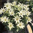 [4月上旬頃〜]フランネルフラワー:フェアリームーン6号鉢植え