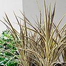 コルジリネ:エレクトリックフラッシュ6号鉢植え