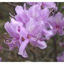 ツツジ:ミツバツツジ紫花5号ポット