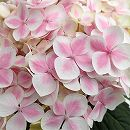 アジサイ:ありがとう(ピンク) 5号鉢植え