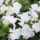 [6月上旬頃〜]日々草:スクリューチュチュホワイト3〜3.5号ポット