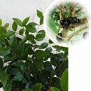 ジャボチカバ 6号鉢植え