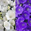 カンパニュラ・パール3.5号ポット2色セット/紫・白