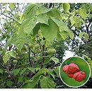 ツリバナ(ツリバナマユミ) 株立ち 樹高1.8〜2m根巻き