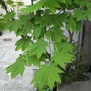 コハウチワカエデ単木樹高2.5m根巻き