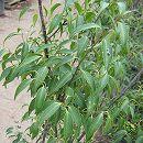 ハイノキ(灰の木)株立ち樹高1.8m根巻き