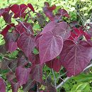 アメリカハナズオウ:フォレストパンシー単木樹高1.8〜2m