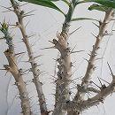 パキポディウム:サンデルシ8号鉢植え