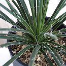 アガベ:ジェミニフォリア4号鉢植え