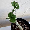 キホステンマ・ユッタエ(ブドウ亀)4号鉢植え