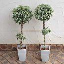 フィカス ベンジャミン斑入り・2段スタンダード仕立て6号鉢植え 2鉢セット