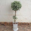 [ギフトに]フィカス ベンジャミン斑入り・2段スタンダード仕立て6号鉢植え (受け皿付き)