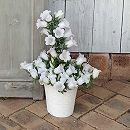 カンパニュラ:ホワイトメアリーミー16cmブランポット入り(アクアセル付き) 2鉢セット