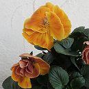 八重咲きパンジー:フェアリーチュール ベルリン11cmポット 3株セット