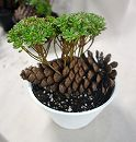多肉植物小人の祭り松ぼっくり仕立て3.5号鉢植え/白鉢