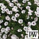 ペチュニア:スーパーチュニア ビスタミニ ホワイトベリー3号ポット 6株セット