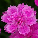 芳香四季咲き八重咲きなでしこ:アナ3号ポット 12株セット