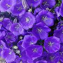 カンパニュラ・パール紫花3.5号ポット 12株セット