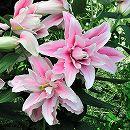 八重咲オリエンタルリリー:ベロニカ1球植え3.5号ポット苗