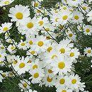 ジョチュウギク(除虫菊):白花3.5号ポット 2株セット