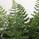 ガーデンファーン(耐寒性シダ):ポリスティカム ヘレンハウゼン3.5号ロングポット