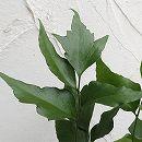 ガーデンファーン(耐寒性シダ):シルトニウム ファルカタム3.5号ロングポット