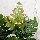 ガーデンファーン(耐寒性シダ):ドリオプテリス エリシロソーラ3.5号ロングポット