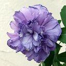 ムクゲ(槿):シギョク(紫玉)6号ポット