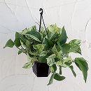 ポトス:マーブルクイーン5号黒吊り鉢