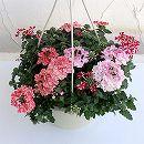 バーベナ:エストレラ 花色3色ミックス6号鉢植え