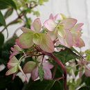 ヤマアジサイ:ツルギノマイ(剣の舞)4号鉢植え