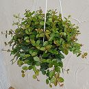 観葉植物5号吊鉢:ペペロミア・アングラータ