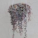 観葉植物5号吊鉢:ハートカズラ