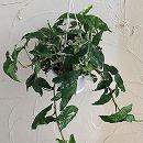 観葉植物5号吊鉢:シンゴニウム・フレンチマーブル