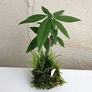 観葉植物の苔玉2.5号2品種寄せ植え・黄金セキショウとパキラ