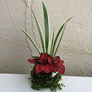 観葉植物の苔玉2.5号2品種寄せ植え・ヒポエステスとホワイトシャガ