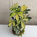 観葉植物の苔玉2.5号2品種寄せ植え・ヒポエステスとシェフレラ