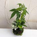 観葉植物の苔玉3号3品種寄せ植え/マランタ・ヒポエステス・パキラ