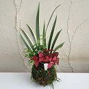 観葉植物の苔玉3号3品種寄せ植え/アスパラガス・ヒポエステス・ホワイトシャガ