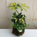 観葉植物の苔玉3号3品種寄せ植え/プミラ斑入・プテリス・シェフレラ