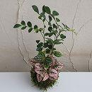 観葉植物の苔玉3号3品種寄せ植え/アルミニウム・ヒポエステス・ゲッキツ