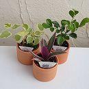ミニ観葉植物アソート2号テラコッタ鉢入り 3株セット