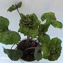 ツワブキ:火雲(カウン) 5号鉢植え