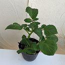 ジャガイモ芽出しポット:タワラヨーデル 2株セット