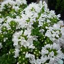 イブキジャコウソウ白花 3.5号ポット  6株セット