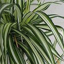 観葉植物5号吊鉢:オリヅルラン斑入り