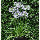 2季咲きアガパンサス:ブルーヘブン4号ポット 6株セット
