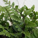 ガーデンファーン(耐寒性シダ):アシリウム オカナム3.5号ロングポット