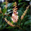 アメリカリョウブ:ピンクスパイヤー 樹高1m根巻き